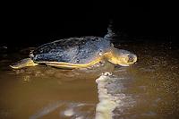 Australian flatback sea turtle, Natator depressus, heads back to ocean after nesting in beach dunes, Curtis Island, Queensland, Australia