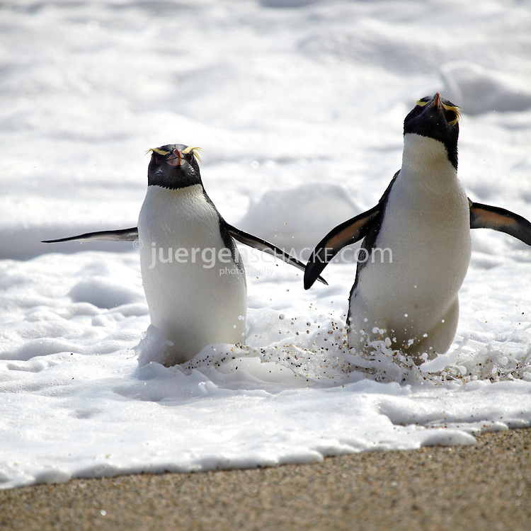 fiordland crested penguins image block square