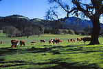 Hereford cattle in Sonoma Valley