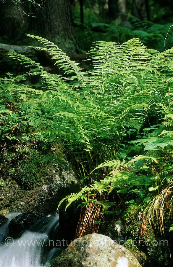 Wurmfarn, Dryopteris spec., Male Fern
