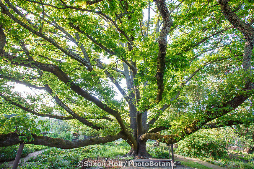Quercus robur, English Oak, large tree with magnificent speading branches; Marin Art and Garden Center