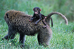 Olive Baboon, (Papio cynocephalus), mother with baby,
