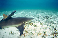 newborn lemon shark pup, Negaprion brevirostris, swims away from mother, Bahamas, Caribbean Sea, Atlantic Ocean