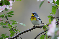 Northern Parula (Setophaga americana), male in breeding plumage, a spring migrant to New York City's Central Park, singing in a Crabapple tree (Malus sp.).