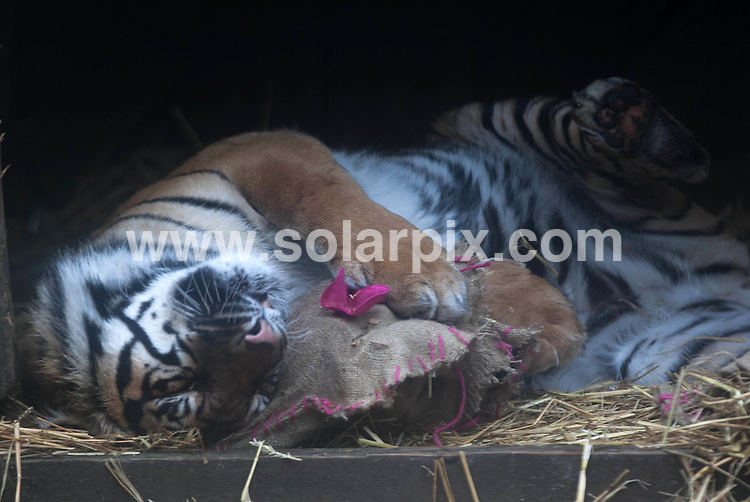 "**ALL ROUND PICTURES FROM SOLARPIX.COM**                                             **  UK NEWSPAPER PUBLICATION PERMITTED ONLY AFTER 7 DAYS FROM THIS CAPTION DATE**. ** NO PUBLICATION IN AUSTRALIA, BELGIUM, FRANCE, GERMANY, ITALY, SCANDINAVIA AND USA**                                                                                  Caption:  Zookeepers at ZSL London Zoo spiced up Valentines Day for Sumatran tigers, Raika and Lumpur, with hearts doused in the animal's favourite perfume : CK Obsession..The loved-up pair were given the romantic treats as part of their daily enrichment activity, stimulating their keen sense of smell and encouraging their natural behaviours..Zookeeper Teague Stubbington said: ""Tigers are territorial creatures and these strong smells encourage their natural scent-marking behaviours by making them rub themselves against the perfumed hearts. .""We've tried lots of different scents and spices, and CK Obsession has proved by far to be their favourite – it always gets the strongest reaction."".                                                                             This pic:                                                                                              JOB REF:14470        SFE       DATE: 13.02.2012                                                           **MUST CREDIT SOLARPIX.COM OR DOUBLE FEE WILL BE CHARGED**                                                                      **MUST AGREE FEE BEFORE ONLINE USAGE**                               **CALL US ON: +34 952 811 768 or LOW RATE FROM UK 0844 617 7637**"