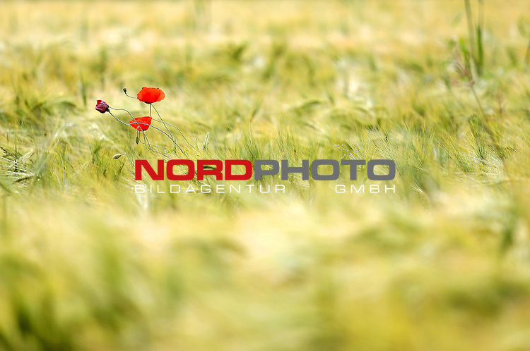 29.05.2013., Zagreb - Poppy flowers in wheat field.<br />                                                                                                    Foto &copy;  nph / PIXSELL / Slavko Midzor
