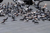 Pigeons flock around food thrown on the sidewalk in Barcelona, Spain.