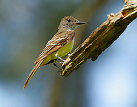 Immature great crested flycatcher