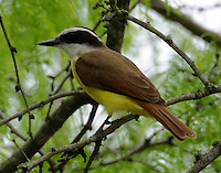 Great kiskadee in mesquite tree