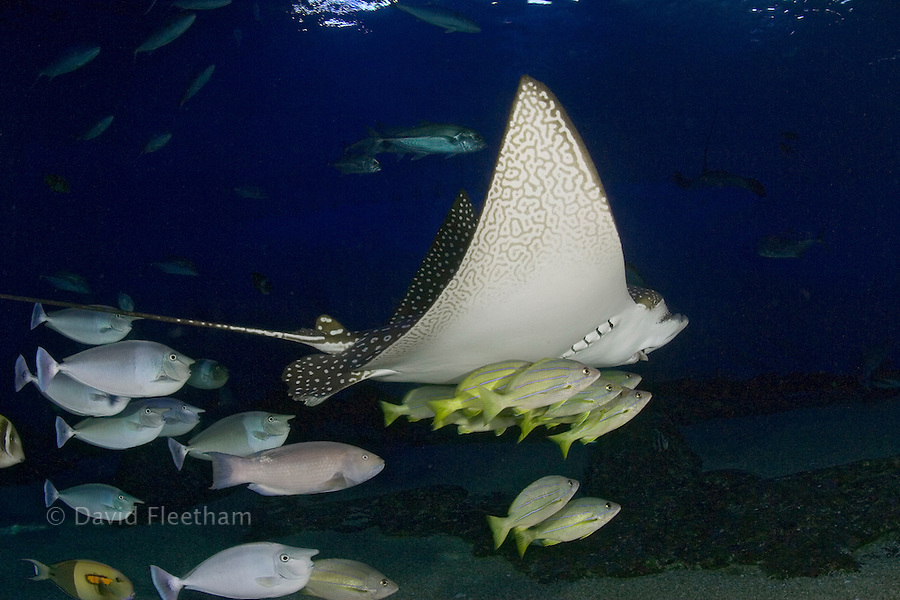 Spotted eagle ray, Aetobatis narinari, and reef fish. Hawaii.