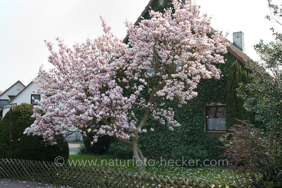 tulpen magnolie naturfoto frank hecker. Black Bedroom Furniture Sets. Home Design Ideas