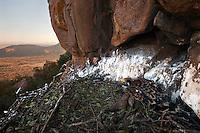 Young Verreaux Eagle on nest