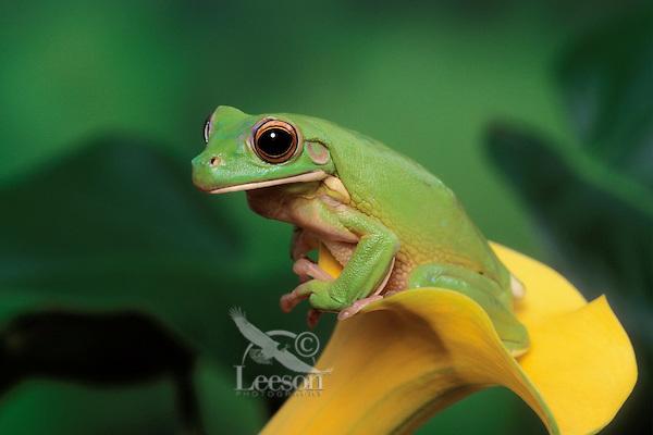 White-Lipped Tree Frog/Giant Tree Frog..Austrailia, new Guinea & Indonesia..Captive. Litoria infrafrenata.