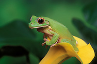 White-Lipped Tree Frog/Giant Tree Frog..Austrailia, new Guinea & Indonesia..Captive. Litoria infrafrenata.