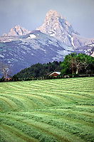 Fresh, mown hay on Alta Wyoming farm below the Grand Tetons