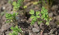 Gewöhnlicher Erdrauch, Blatt, Blätter, Jungpflanze, Fumaria officinalis, Common Fumitory, Fumeterre