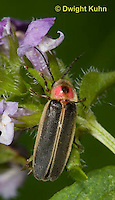1C24-713z   Pyralis Firefly, Lightning Bug,  Photinus spp.