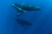 humpback whales, Megaptera novaeangliae, female with calf and male escort, Kona, Hawaii (do); caption must state photo taken under NMFS research permit #587