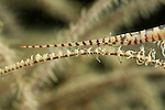 Black coral shrimp (Tozuma armatum).