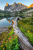Wind River Range, WY: Flowering groundsel, monkeyflower and asters alongside fallen log at Lonesome Lake with sunrise light on Warrior Peaks and War Bonnet in the Cirque of the Towers; Bridger Wilderness in the Bridger National Forest