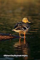 00729-00819 Mallard (Anas platyrhynchos)  female in wetland   Marion Co.   IL