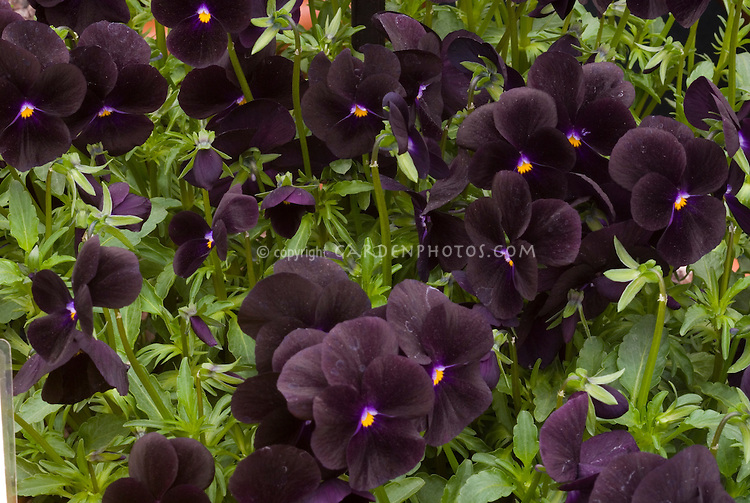 Viola Sorbet Black Delight black flowers