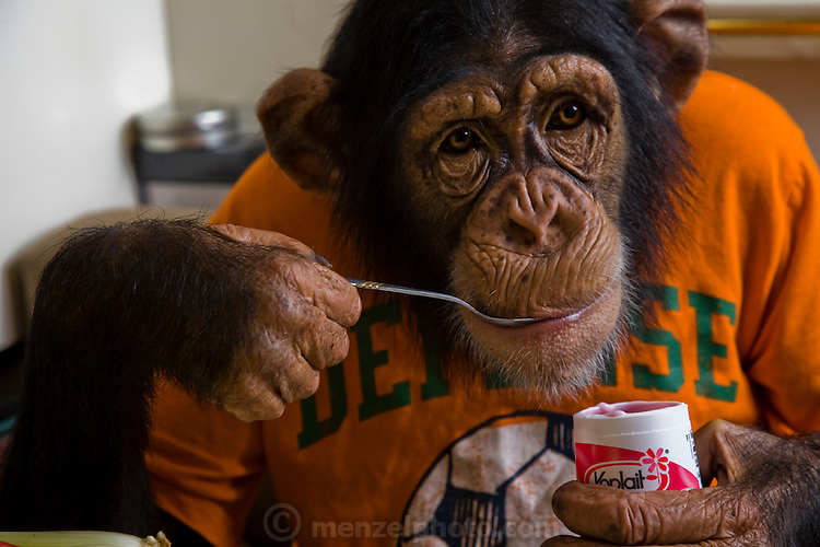 Ricki the Chimp eats yogurt during a break in a shooting session on what he eats in one day at the Bailiwick Ranch and Discovery Zoo in Catskill, NY. (Ricky the chimp is featured in the book What I Eat; Around the World in 80 Diets.) He is owned by circus folk Pam Rosaire-Zoppe and Roger Zoppe.