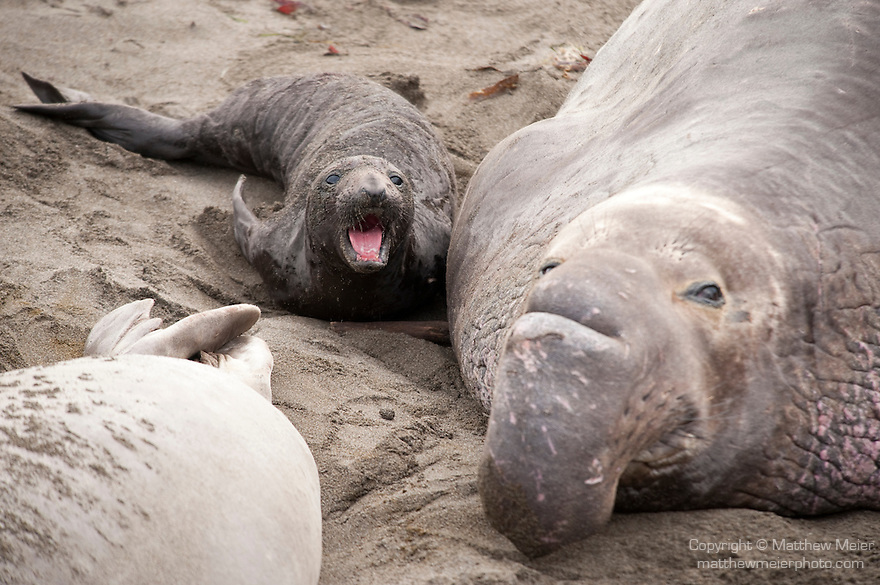 San Simeon, California; a large adult male Northern Elephant Seal (Mirounga angustirostris) rests on the sandy beach next to a small newborn pup