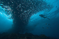 Diver (MR) and schooling bigeye jacks, Caranx sexfasciatus.  Sipidan Island, Malaysia.