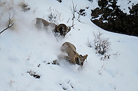 Bighorn Ram chasing another Ram, Cody, Wyoming