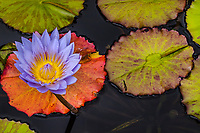 Water Lilies, Ponds and Pond Life