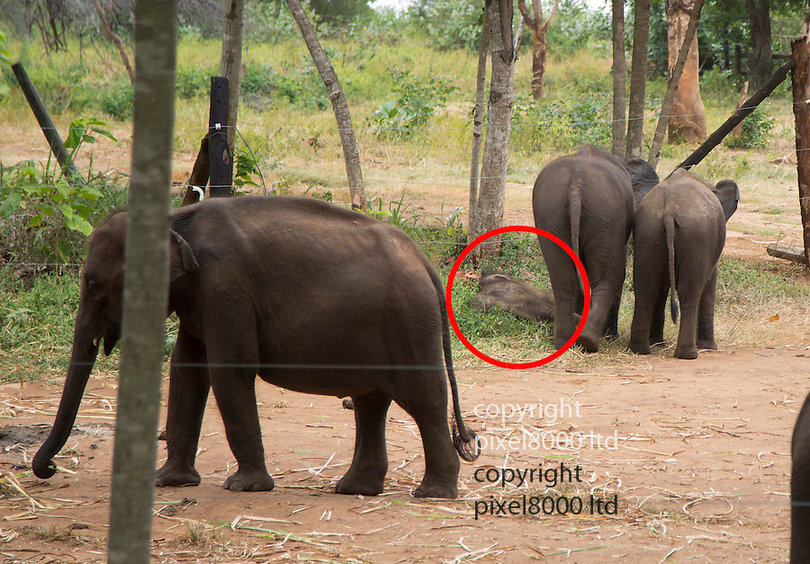 """Touching elephant story - <br /> <br /> Namal and Hercules (smaller of the two)  - two """"disabled"""" baby elephants that have formed a special friendship at Elephant Transit home in Sri Lanka.<br /> Namal has a false leg after being shot- probably caught in crossfire by ivory poachers - he was rescued by rangers and taken to elephant hospital where he underwent life saving surgery. He was later fitted with a prosthetic leg.<br /> <br /> Hercules was caught in a trap unscrupulous pet hunters, but again was rescued by national park rangers before being captured. Sadly he  now has a deformed kneed due to his injuries.<br /> A """"transit home"""" is different to an """"orphanage"""" because it is planned to return all the elephants to the wild once they are strong enough. But whether these two will ever be strong enough remains to be seen. <br /> There are wild herds of elephants in Uda Walawe National Park in the south of the island to which the transit home is attached.<br /> <br />  Many of the other 20 or so elephants were rejected by their mothers or their mothers were killed by poachers. <br /> Hercules and Namal are led out before the main group to protect them from the scrum for milk feeding. The main bunch follows them out and the pair are moved to the centre of the compound for safety. <br /> After milk feeding, grasses are spread around for elephants to feed on where they jockey for the best pickings three times a day. <br /> Again Hercules and Namal are kept back and allowed to stay after the main bunch has been led out so they can get their feed.<br /> During the main feeding Namal, 10 months old,  is very nervous due to his plastic leg . But plucky Hercules, just four months, ventures into the main bunch to get a drink from a nearby pond. <br /> Heartbreakingly he stumbles and drops several times to one knee. In the end the step down to the pond proves too much for him and he gives up.<br /> On the back back through the crowd to his chum Namal, Hercules is knocked my an"""