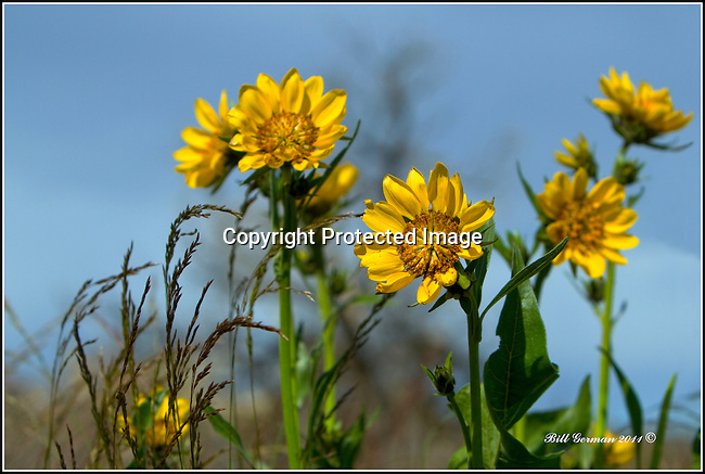 Arrowleaved Balsamroot near Othello, Wa.