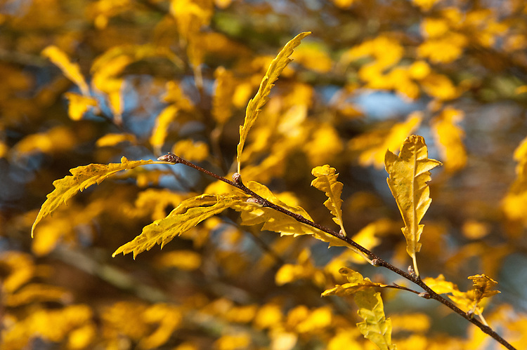 Autumn foliage of oak-leaved common hornbeam (Carpinus betulus 'Quercifolia'), early November.