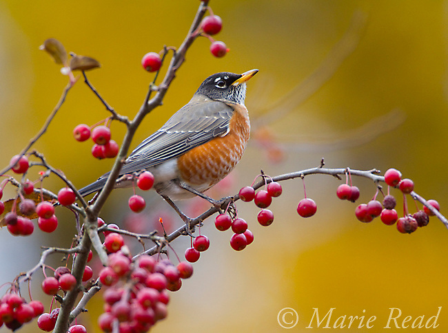 American Robin (Turdus migratorius) autumn, Ithaca, New York, USA<br /> (Digitally retouched - twig removed at bottom)