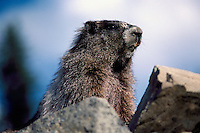 Hoary Marmot (Marmota caligata) basking on Rock in Sun, Manning Provincial Park, BC, British Columbia, Canada, Summer