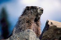 Hoary Marmot (Marmota caligata) basking on Rock in Sun, Manning Provincial Park, BC, British Columbia, Canada, Summer