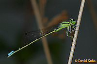 0826-06nn Eastern Forktail Damselfly - Male - Ischnura verticalis - © David Kuhn/Dwight Kuhn Photography