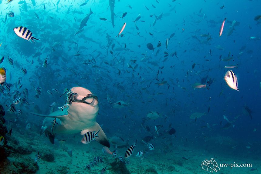 The bull shark, Carcharhinus leucas, also known as the Zambezi shark (UK: Zambesi shark) or unofficially Zambi in Africa and Nicaragua shark in Nicaragua, is a shark commonly found worldwide in warm, shallow waters along coasts and in rivers. The bull shark is known for its aggressive nature, predilection for warm shallow water, and presence in brackish and freshwater systems including estuaries and rivers.<br />