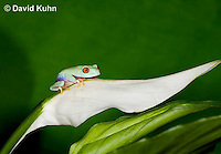 0306-0920  Red-eyed Tree Froglet (Young Frog) on White Flower, Agalychnis callidryas  © David Kuhn/Dwight Kuhn Photography.