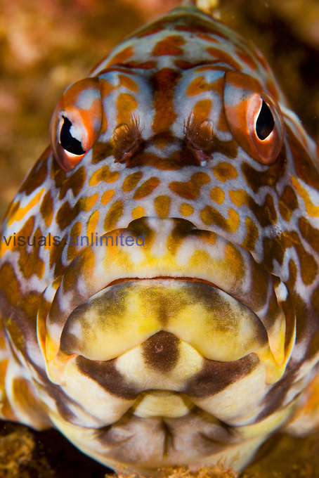 Face of the Stocky Hawkfish (Cirrhitus pinnulatus), a species that can reach nearly 12 inches in length and is common is shallow waters of Hawaii, USA.