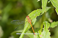 06663-00115 Ruby Meadowhawk dragonfly (Sympetrum rubicundulum) female, DuPage Co.  IL