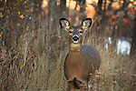 White-tailed deer