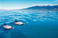 Hector's dolphins, Cephalorhynchus hectori (endangered), Kaikoura, New Zealand, Pacific Ocean