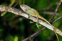 A helmeted basilik lizard (Corytophanes cristatus) in Costa Rica.