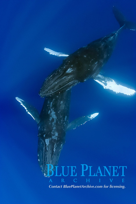 male humpback whale gently glides over female, Megaptera novaeangliae, Hawaii, Pacific Ocean