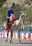 Colton Lockhead races in the 59th Annual International Camel &amp; Ostrich Races in Virginia City, Nev., on Friday, Sept. 7, 2018. <br /> Photo by Cathleen Allison/Nevada Momentum