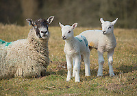 Twin Texel sired lambs with Mule ewe, Clitheroe, Lancashire.