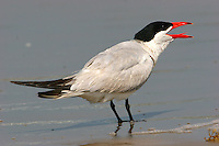 Adult Caspian tern in breeding plumage