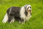 Tibetan Terrier. Chaucer.